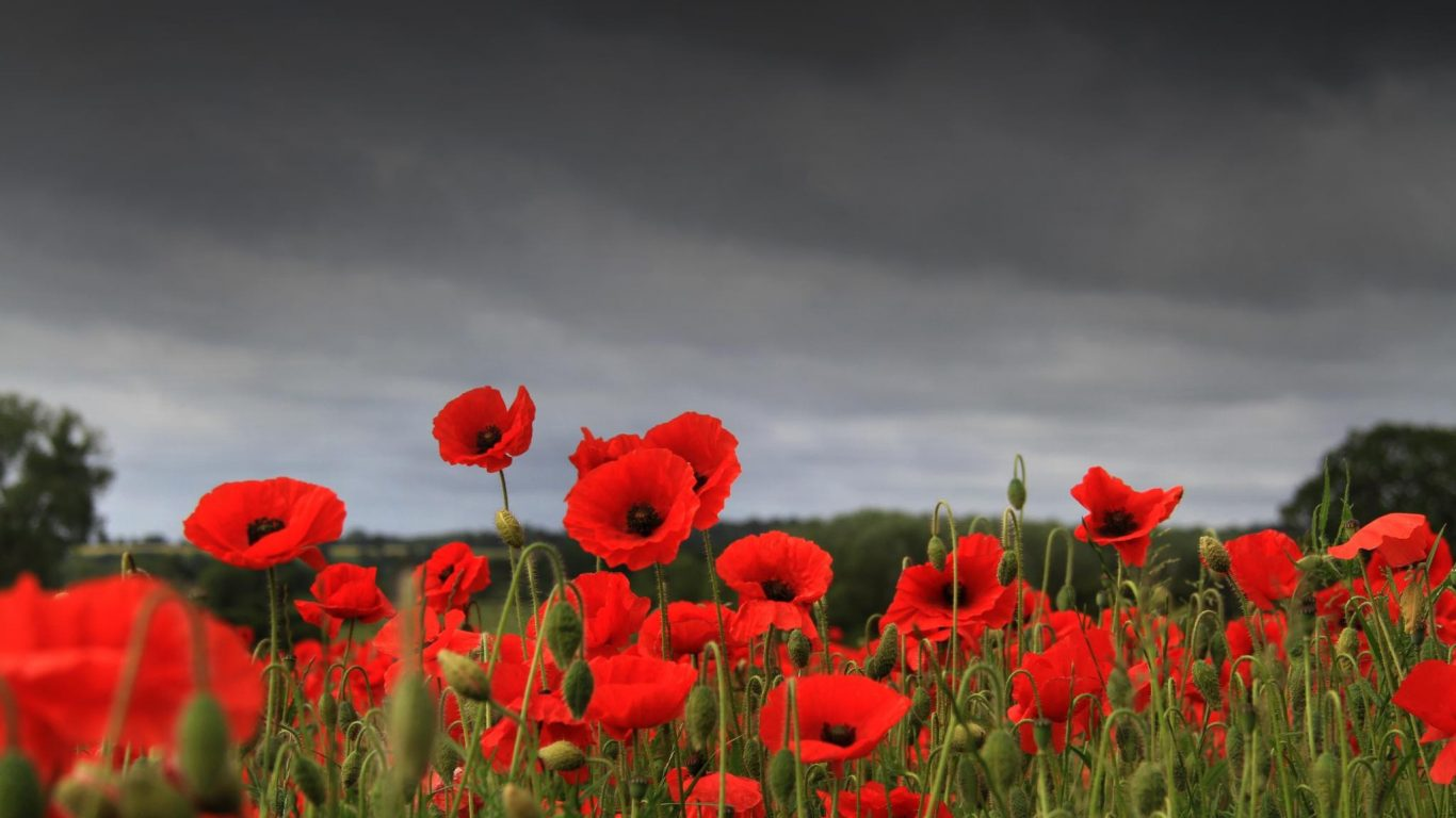 Field Remembrance Nature Flowers Poppies Wallpaper Flower Mobile St Pauls